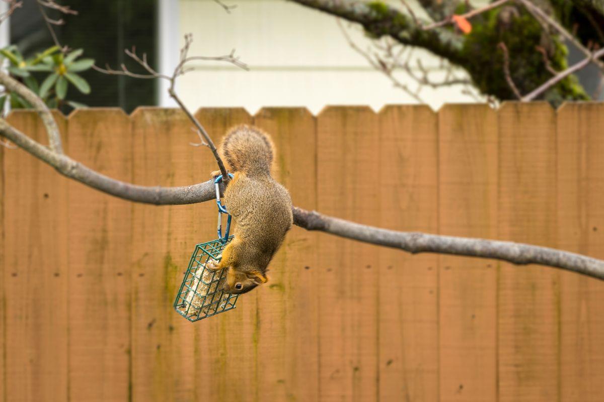 Squirrel upside down