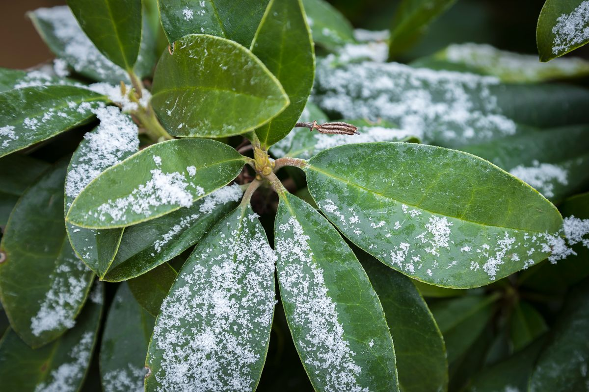 Frosted Rhododendron