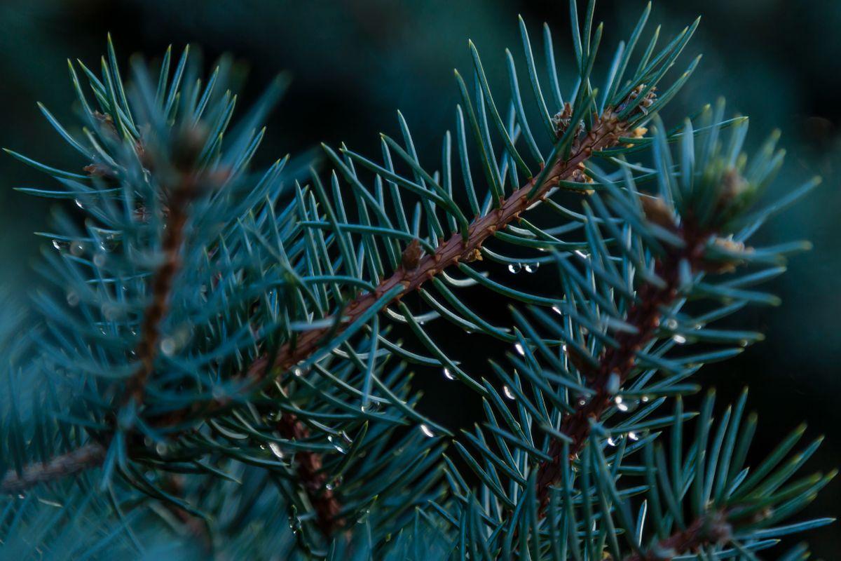 Blue Spruce Dew Drops
