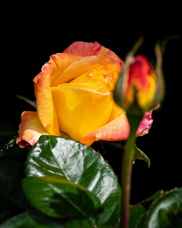 Rose - 2019