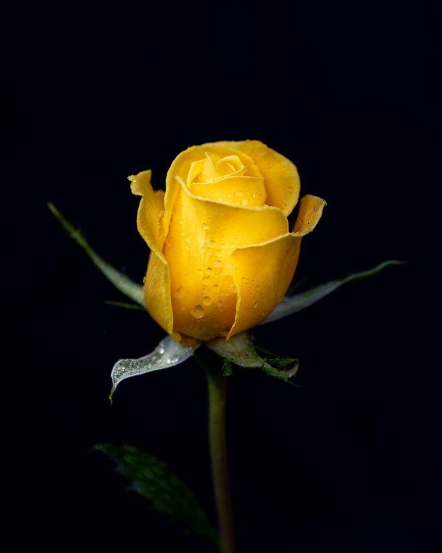 Newest Rose #1