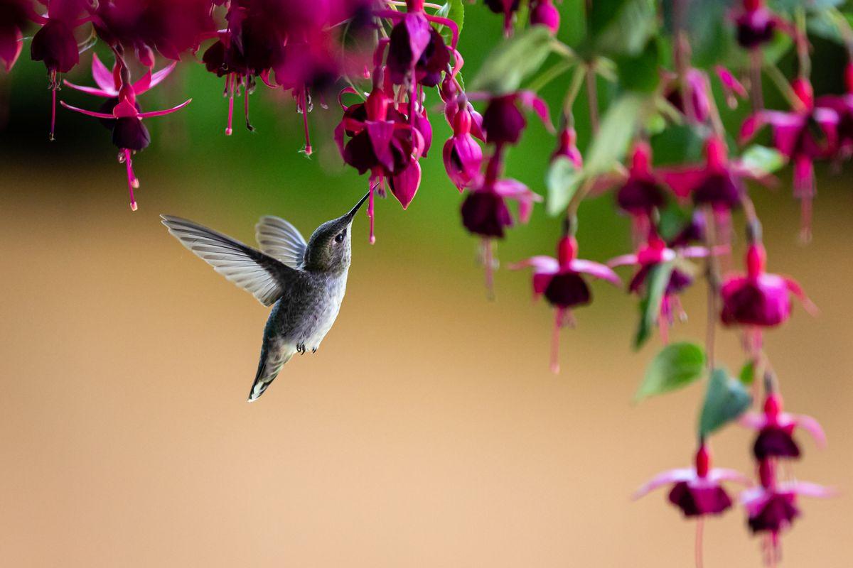 Howie the Hummingbird!