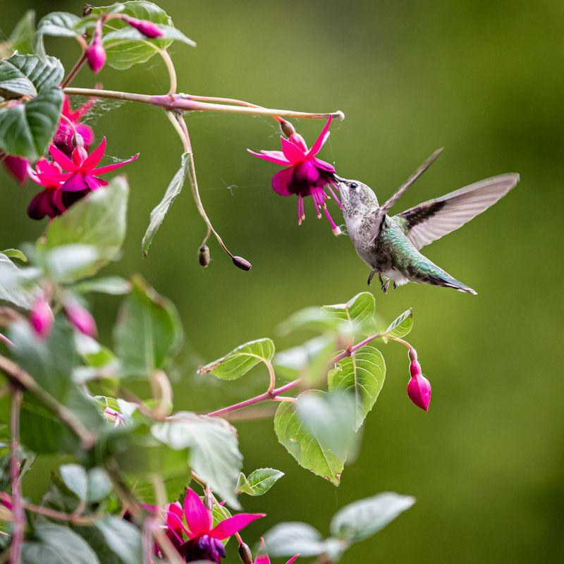 Sorry not Howie but Henrietta the hummingbird #C