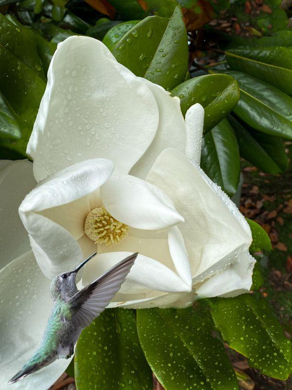 Hummer and Magnolia