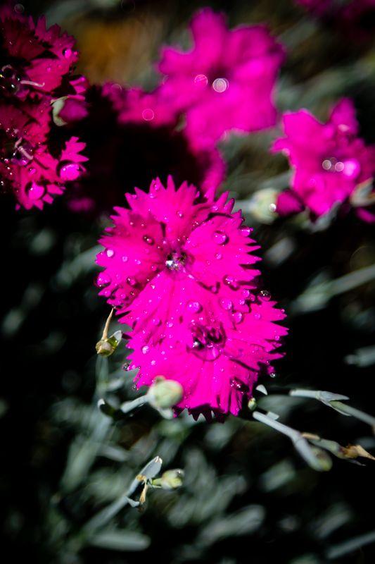 Neon Dianthus