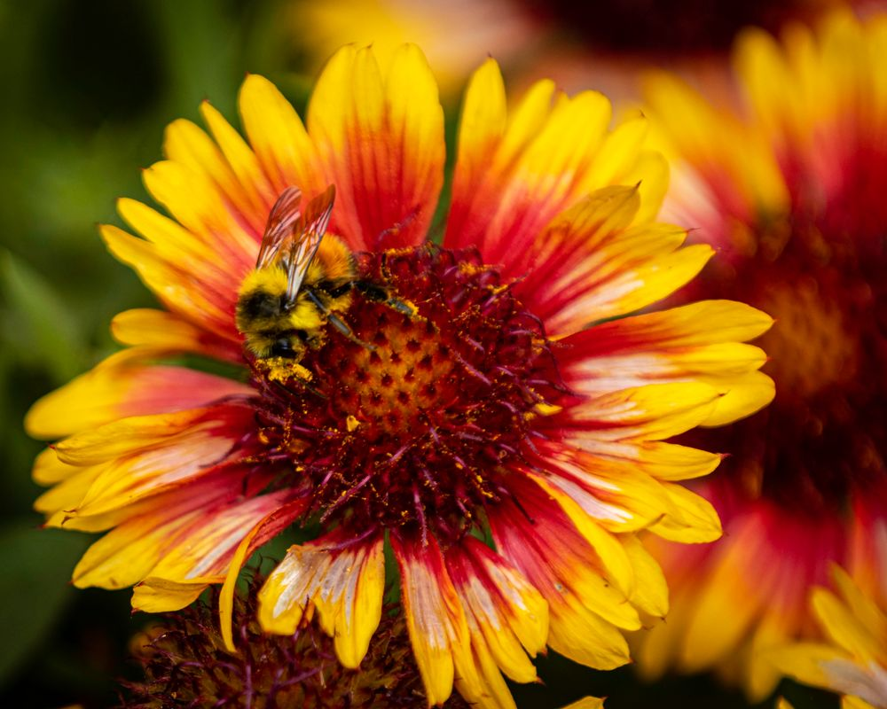 Red Wing Bee