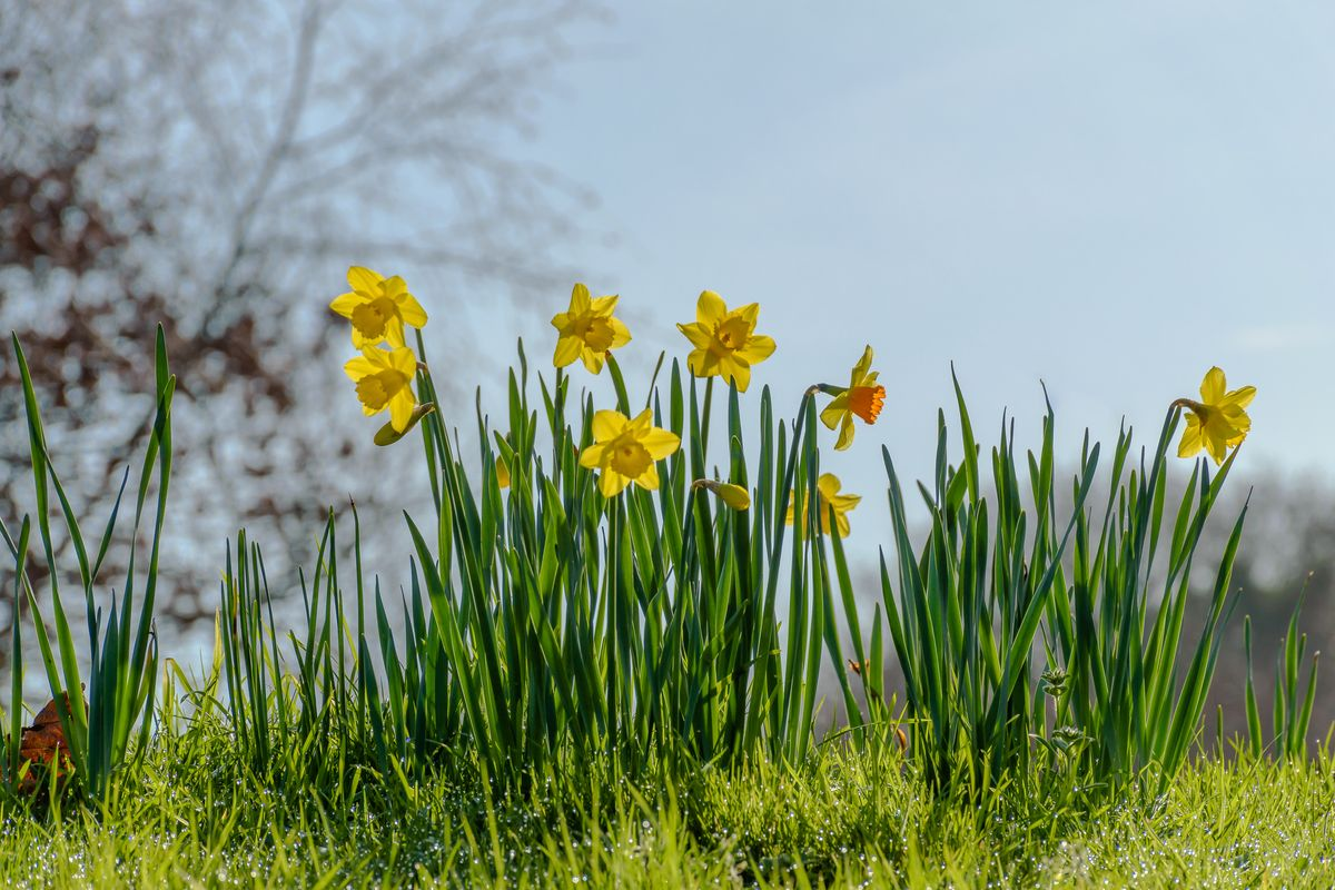 Daffodils and blue background