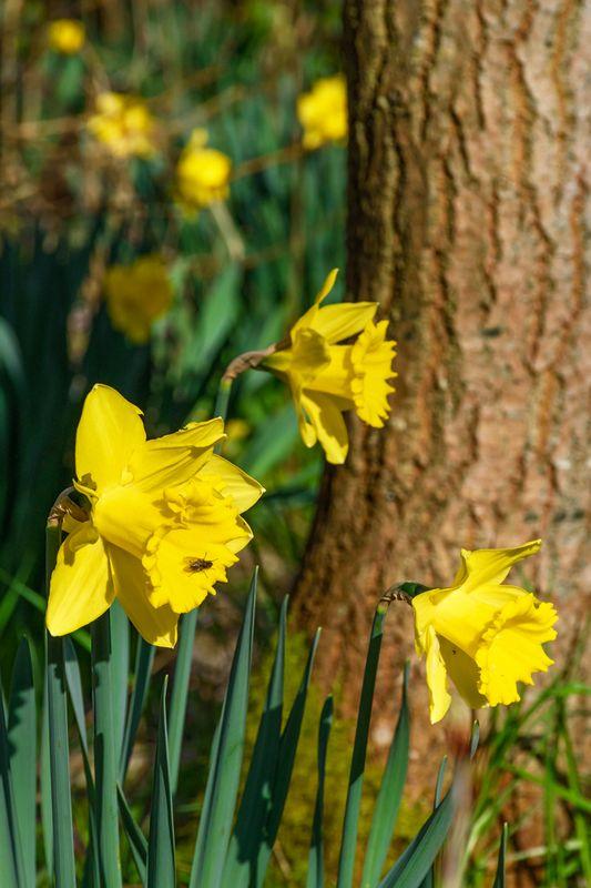 Daffodils and tree
