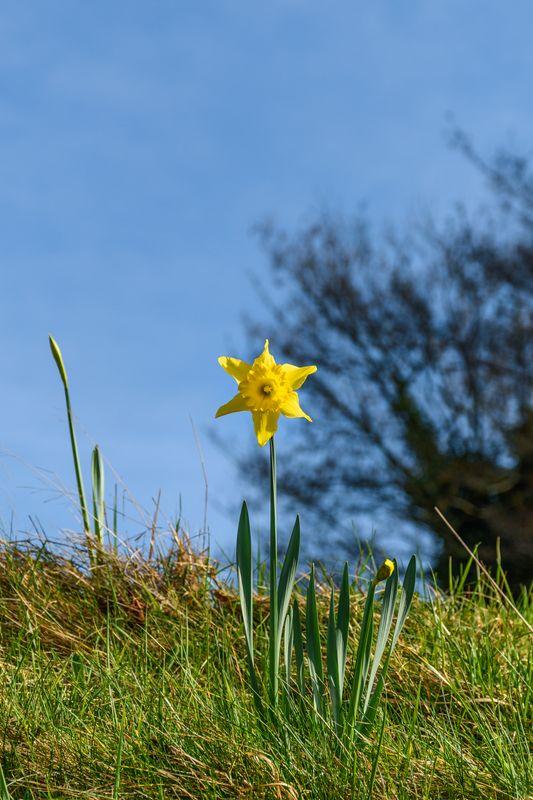 Daffodil, tree and blue sky