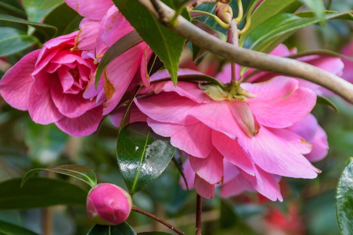 Tea(Camellia japonica)