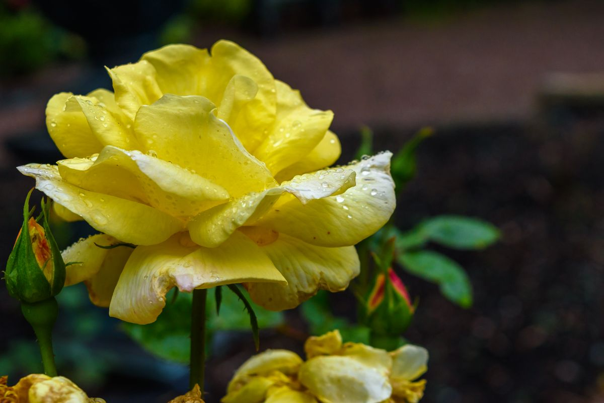 Yellow rose and drops of water