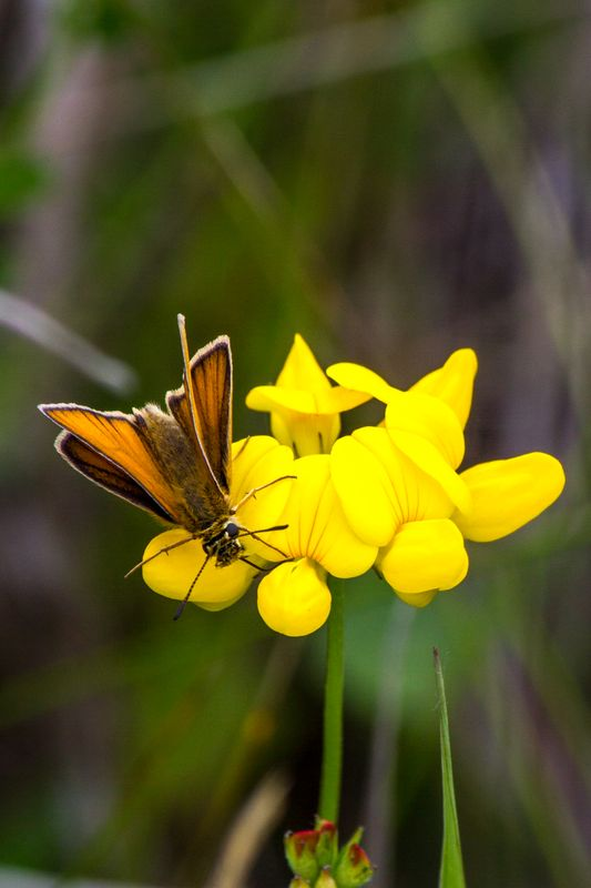 European Skipper on Birdsfoot Deervetch