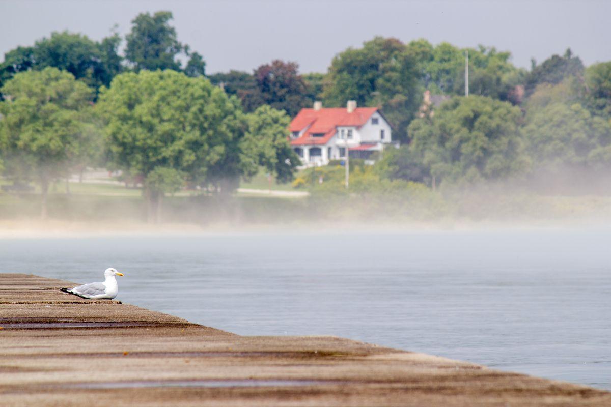 Herring Gull watching the Fog (Larus argentatus)