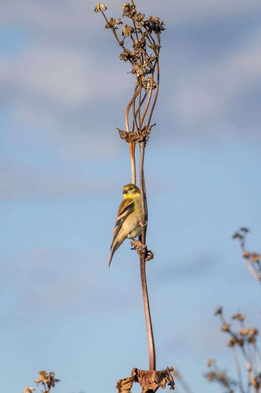Immature American Goldfinch (Spinus tristis)