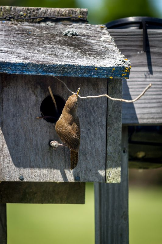 Optimistic House Wren (Troglodytes aedon)