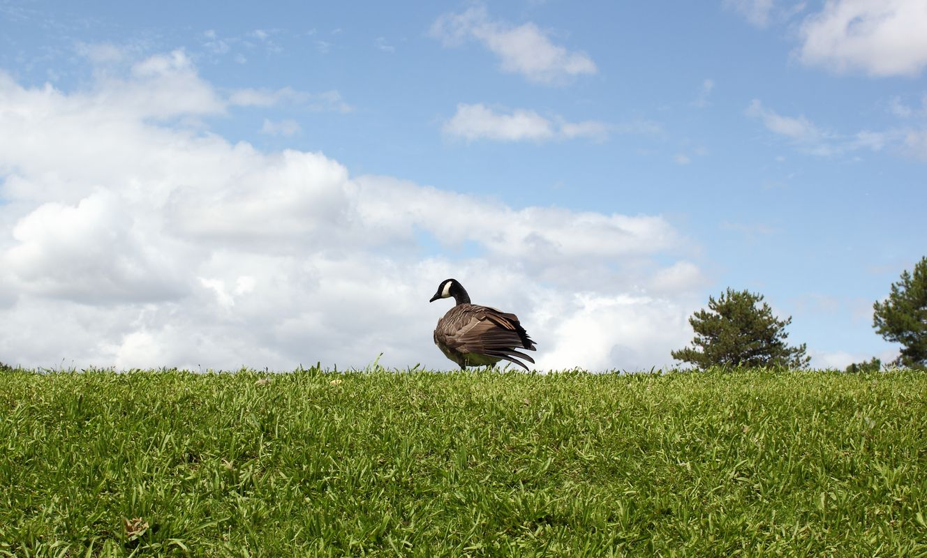 Goose on a hill