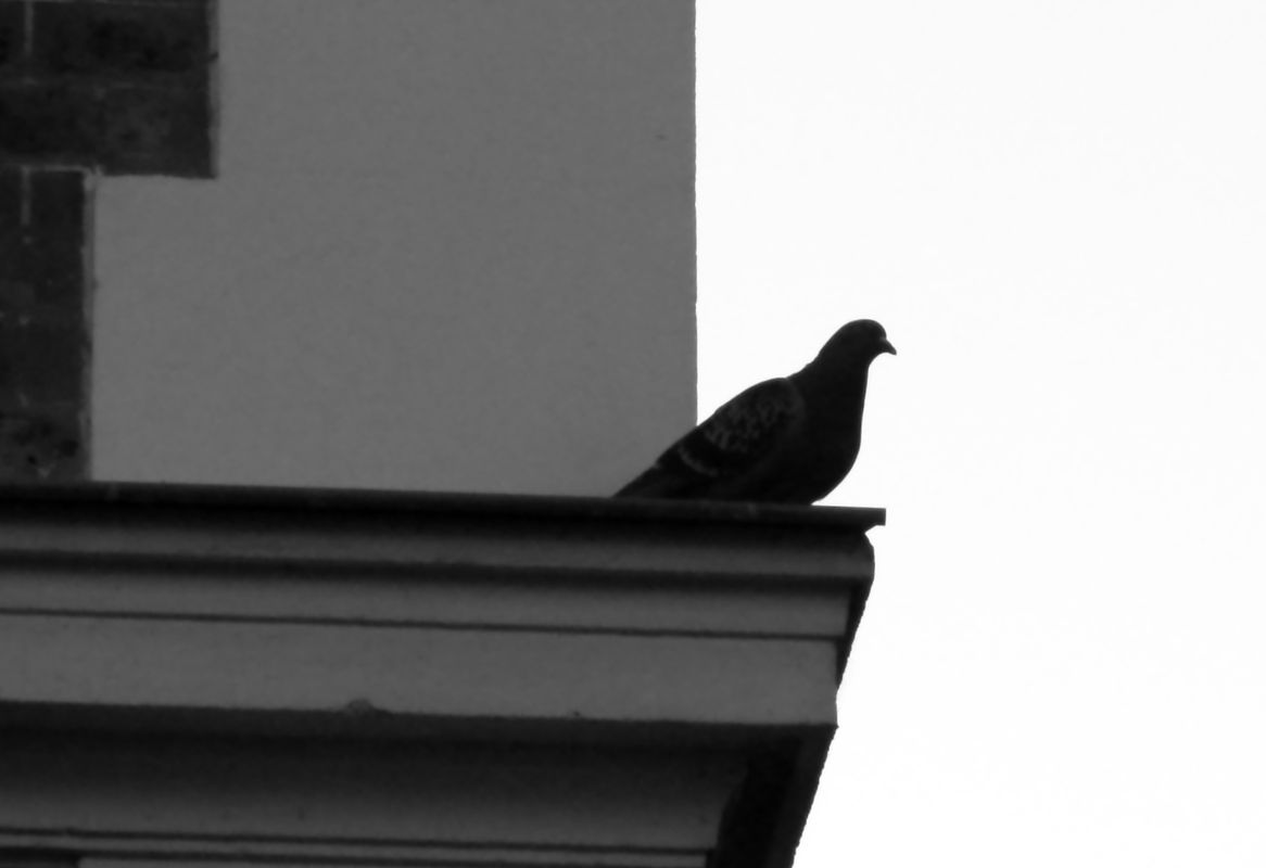 Pigeon on a ledge