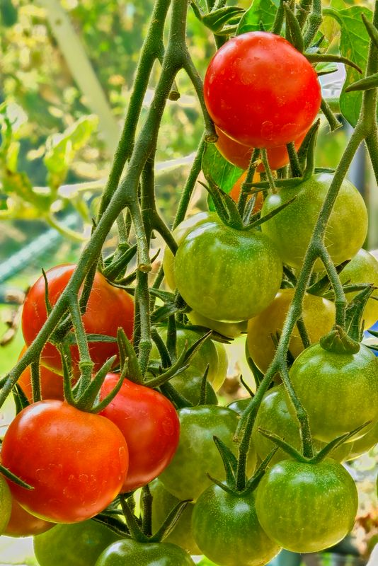Tomato Plant Taken Using the Focus Stacking Method (read description for more information)