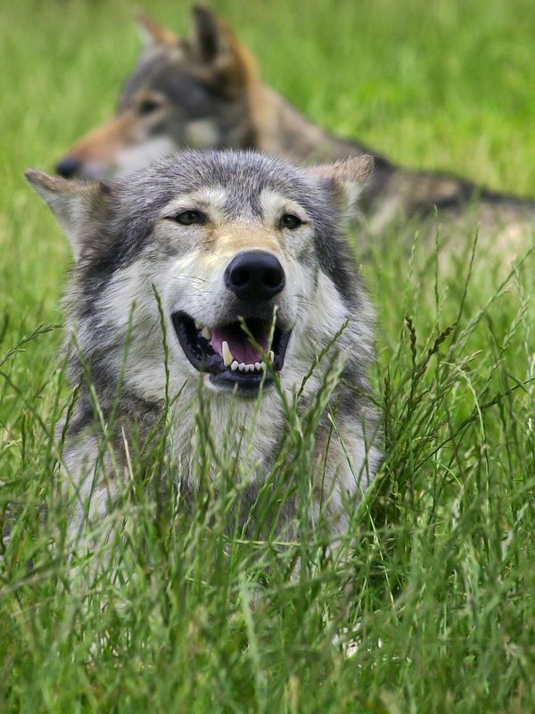 Canadian Timber Wolves (captive)