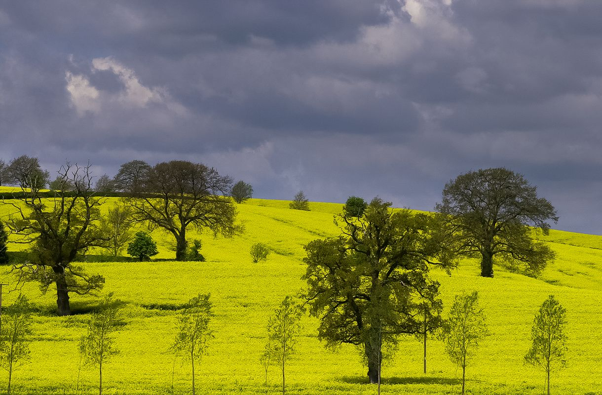 Rapeseed Fields in Full Bloom, Broughton, Banbury, Oxfordshire
