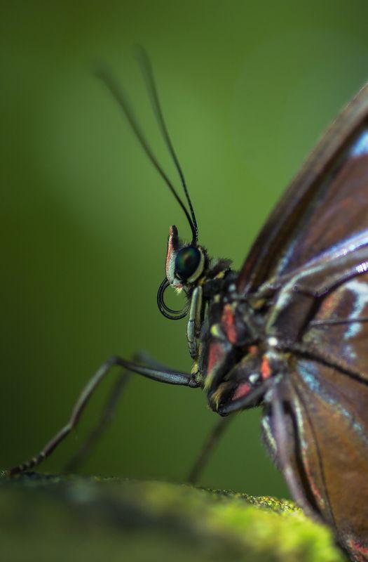 Close-up of Blue Morpho (Morpho menelaus) Butterfly