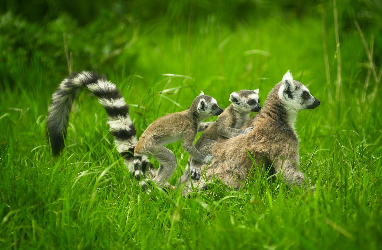 Ring-Tailed Lemur and Babies (captive)