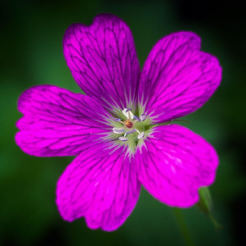 Wild Purple Geranium
