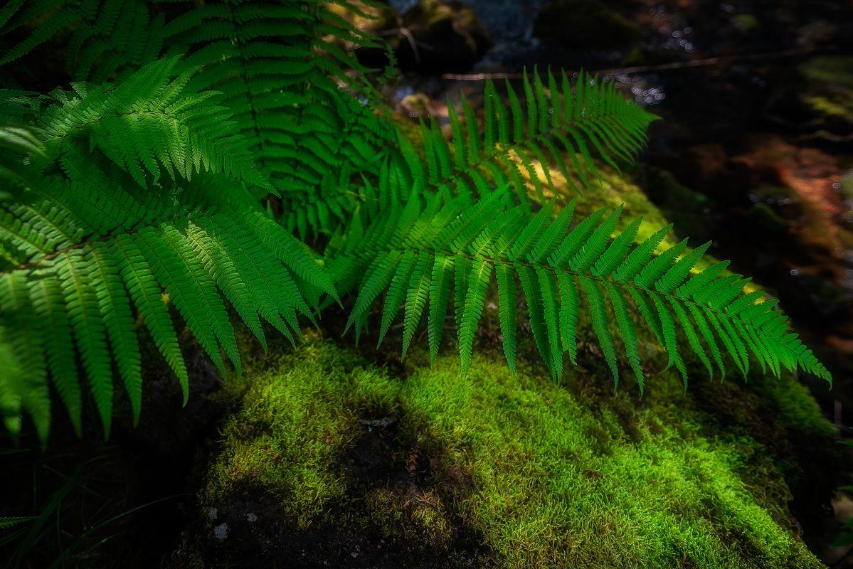 Ferns next to Afon Mellte, Brecons Beacons, Wales