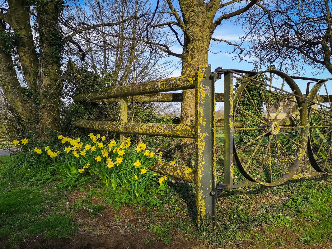 Farm Gate and the Daffodils, Duns Tew, Oxfordshire