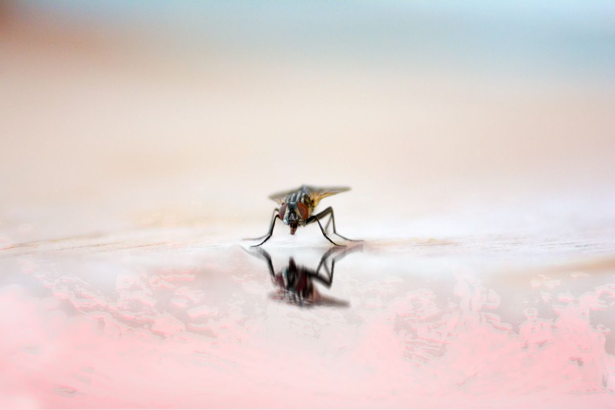 Fly reflection