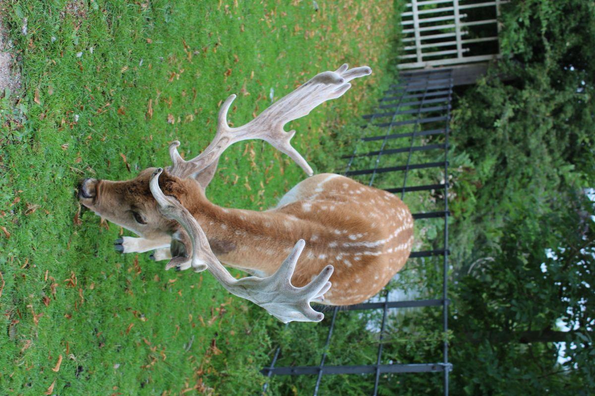 Eating Fallow Deer