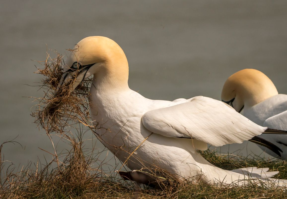 Gannet collecting nesting material.