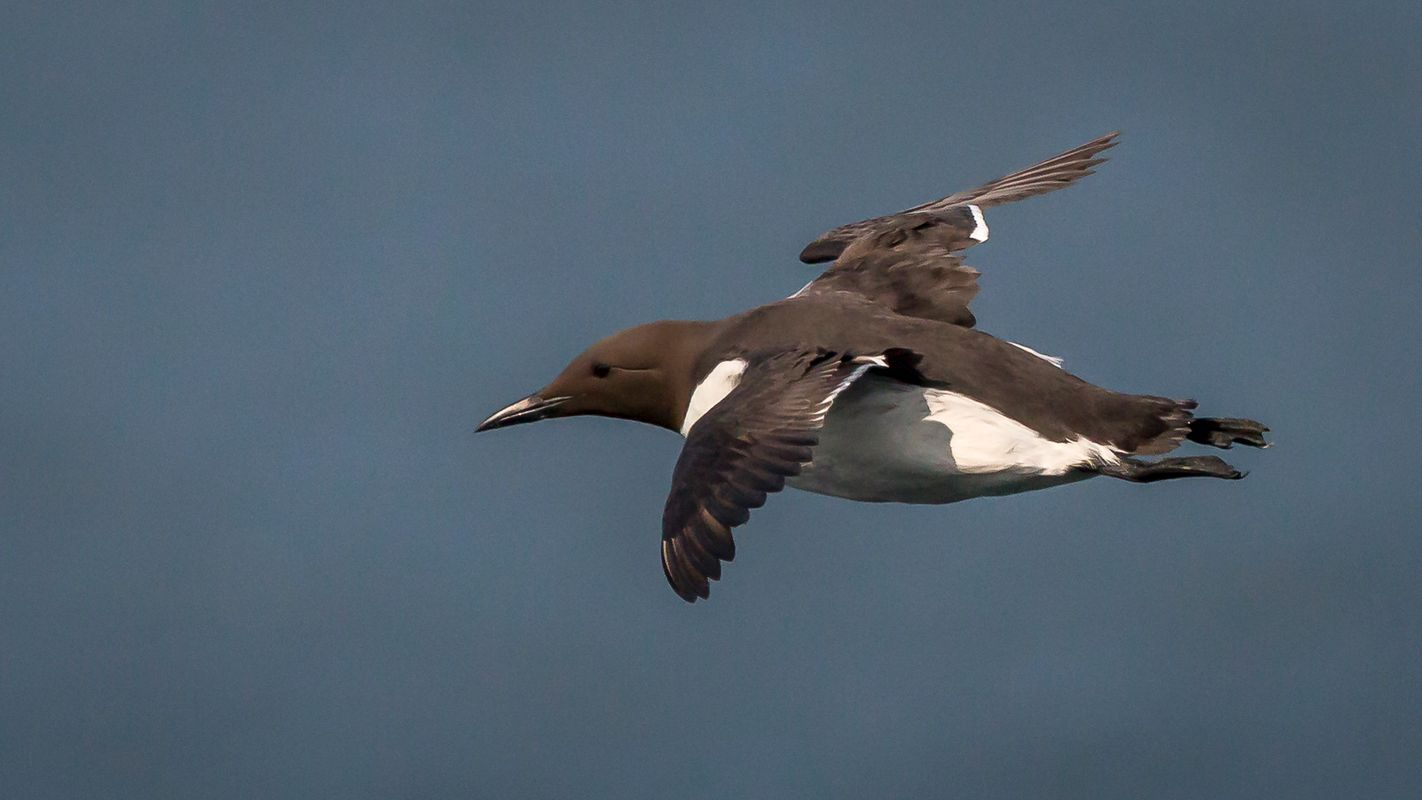 Guillemot flying.