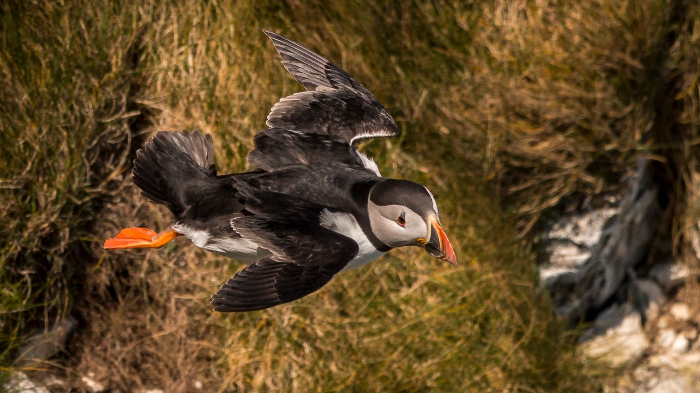 Puffin flying.