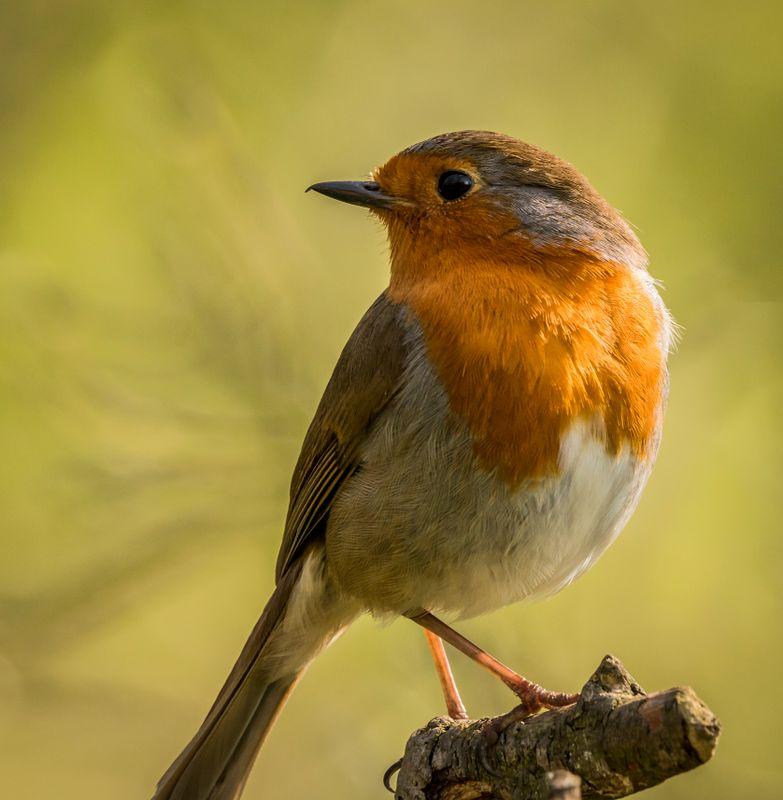 Robin posing for me.