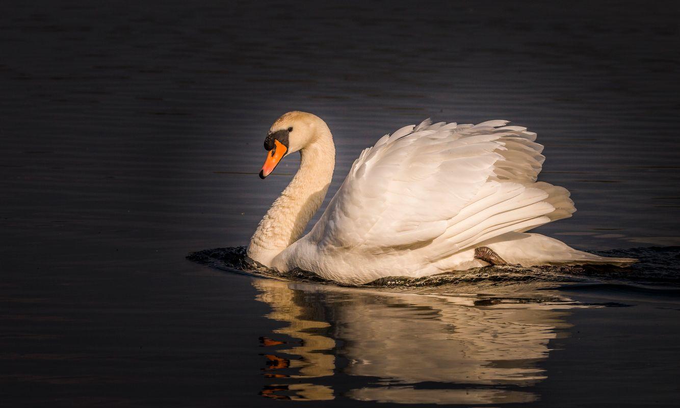 Swan at Lackford Lakes