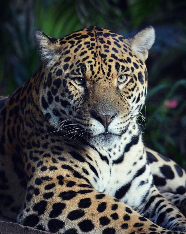 Observant Jaguar