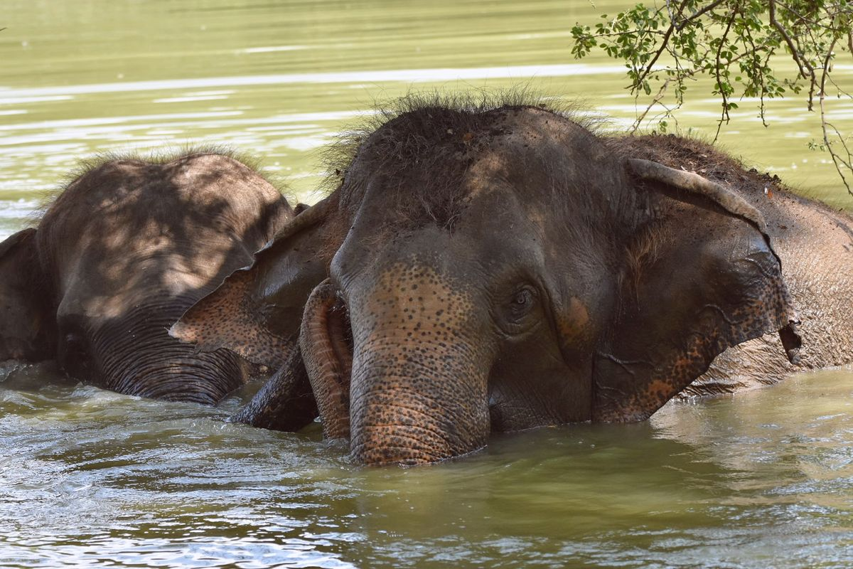 Elephants taking a dip