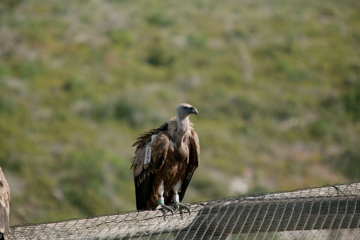 Amazing Vulture of Israel, vulture of the Holy Land