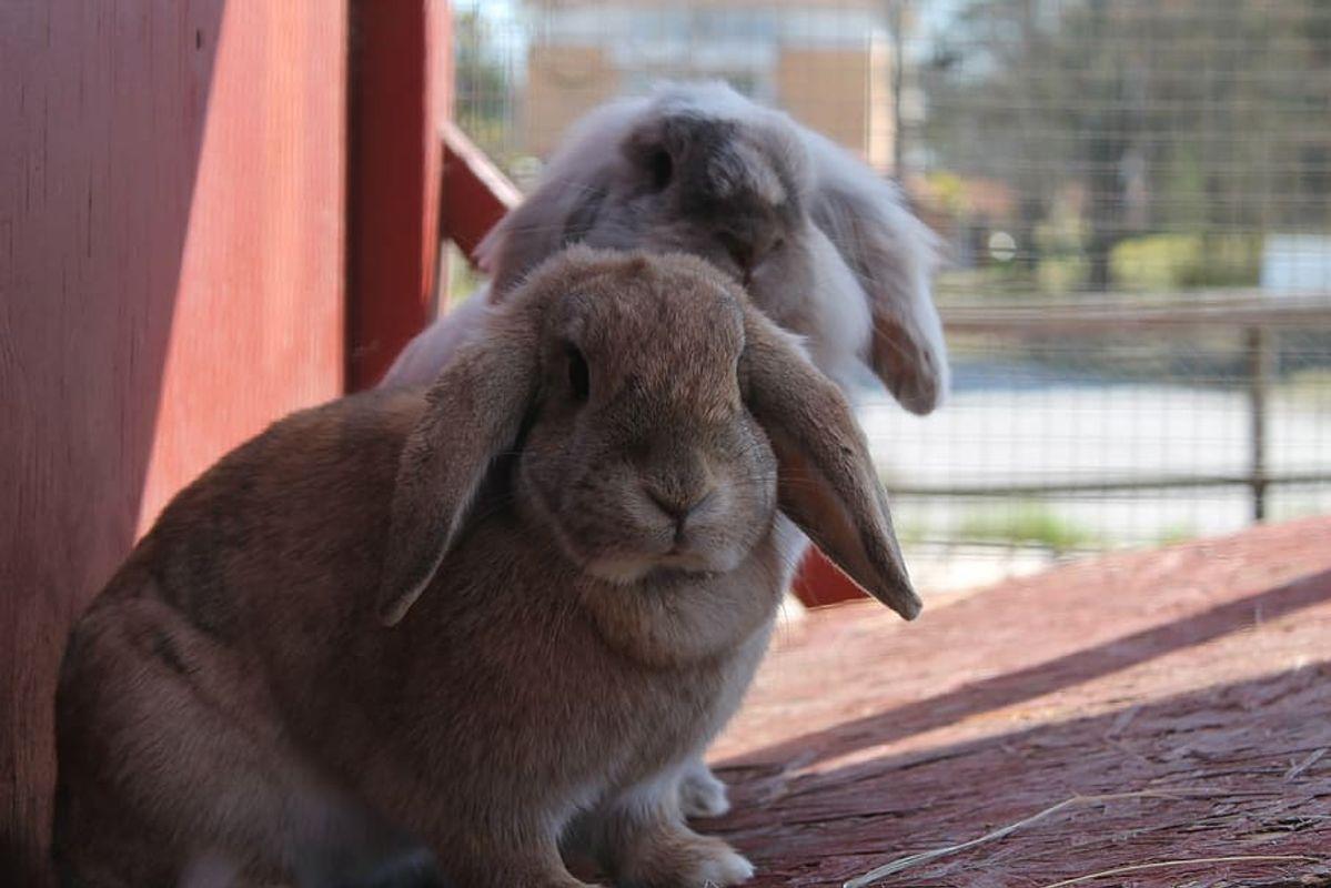 Bunnies-rabbits-cute-bunny