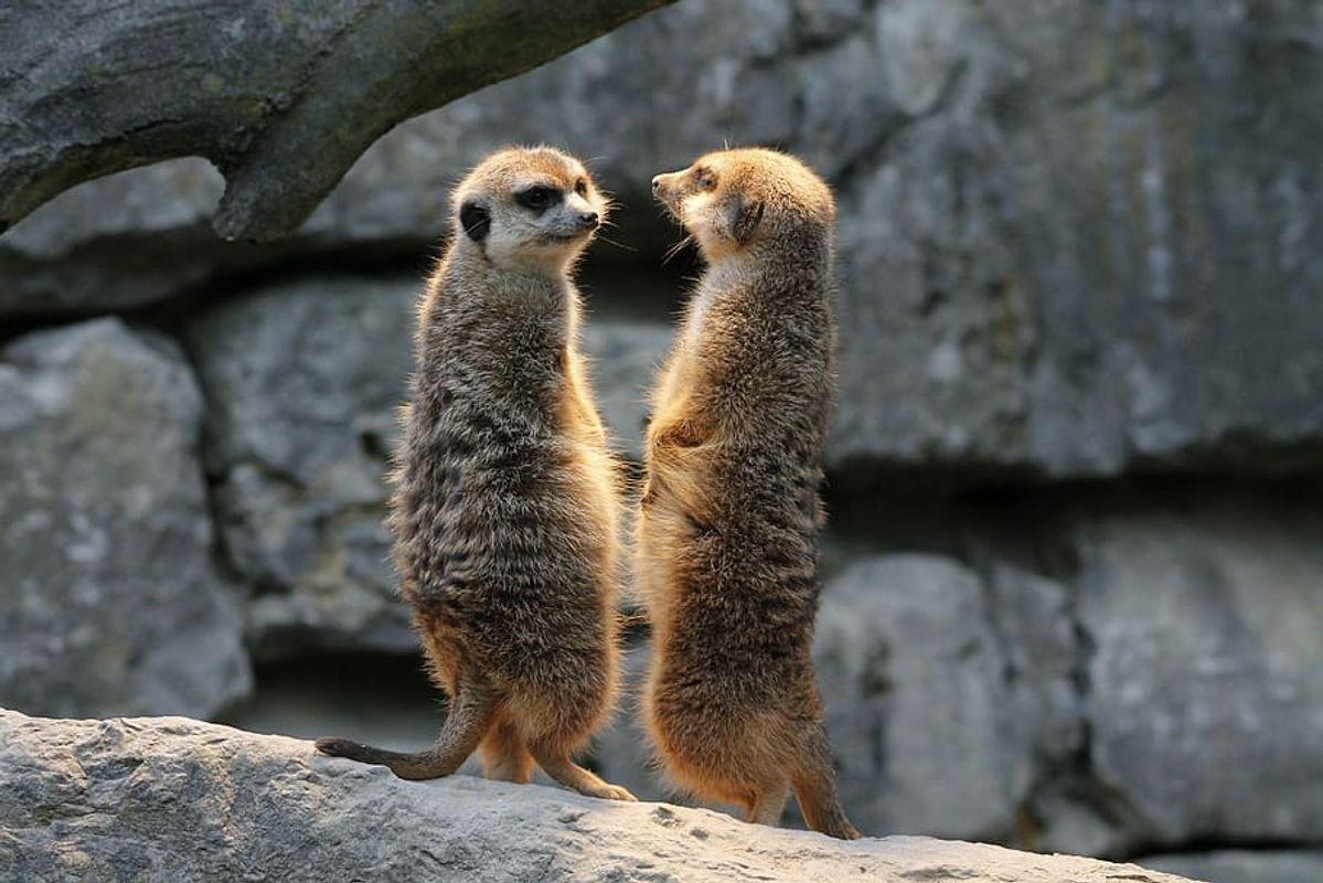 Meerkat-watch-guard-nature