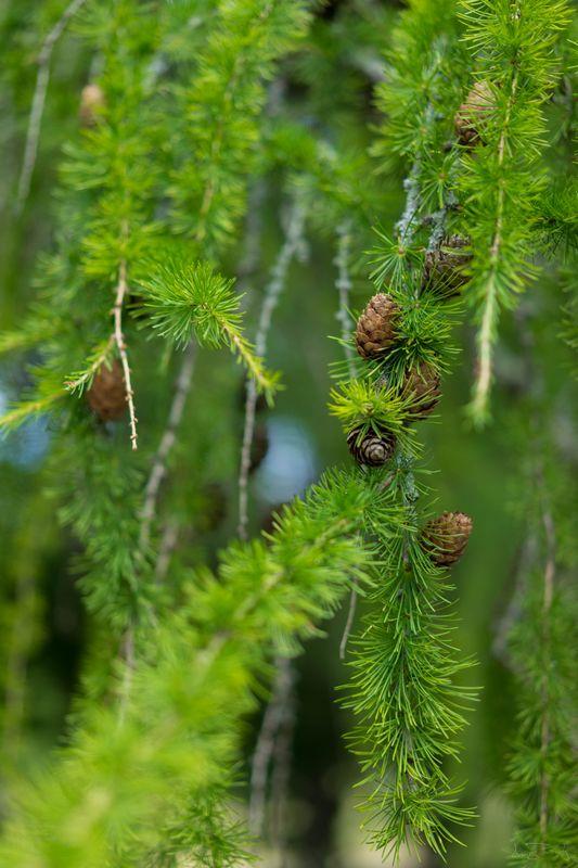 Beautiful evergreen