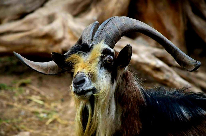 Animals - Goat
