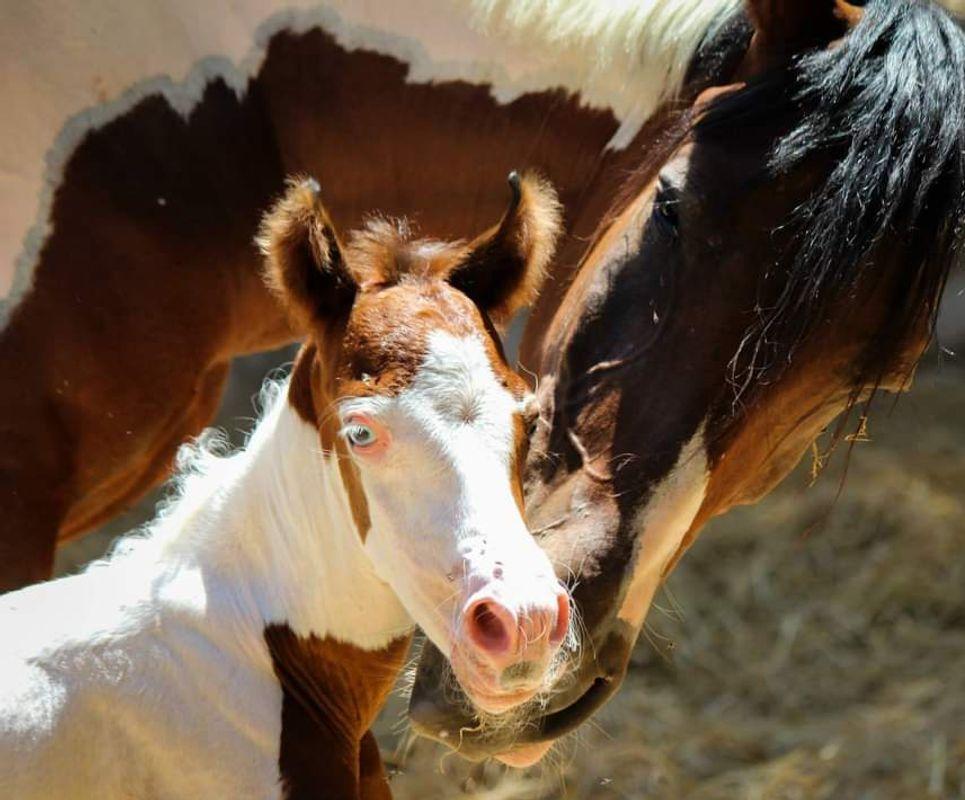 Animals - Horse - american paint horse