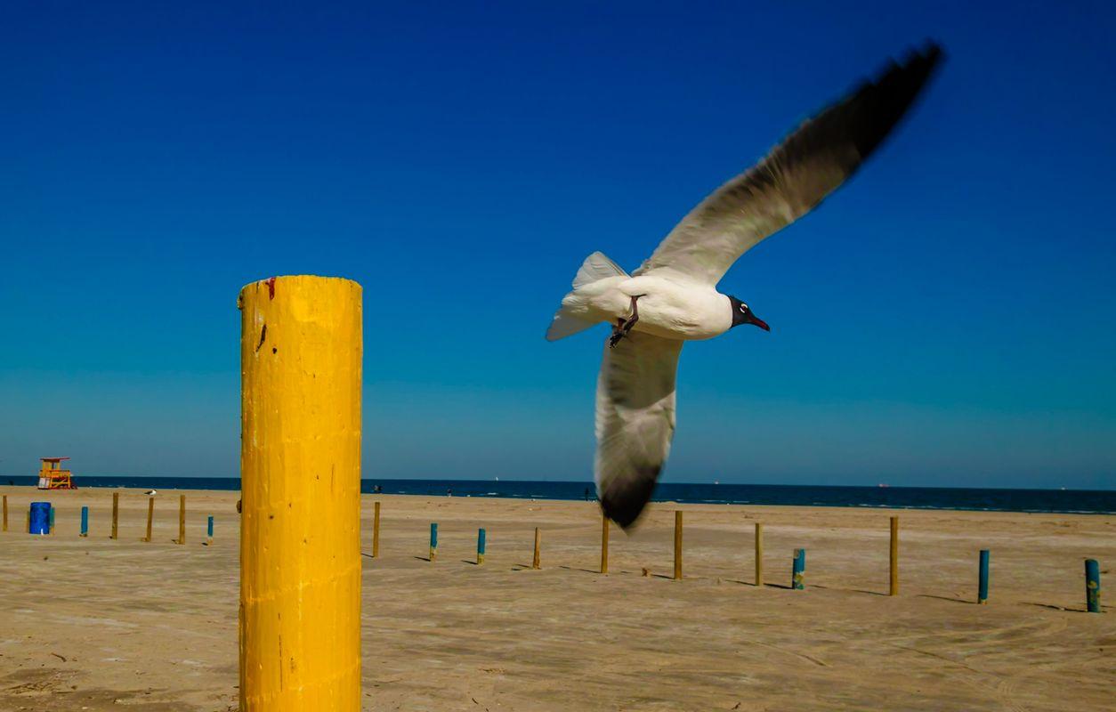 Galveston Gull
