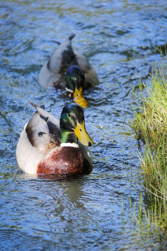 A wet duck or not