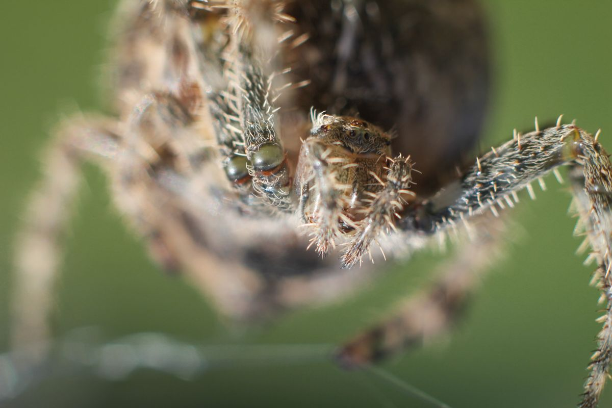 Araneus Cavaticus says hello.