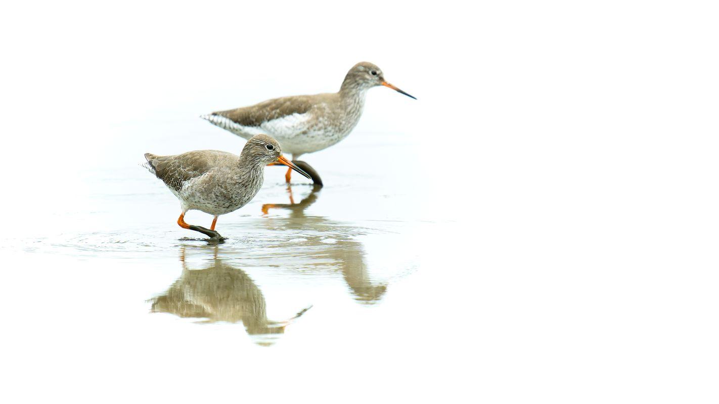 Redshanks(Tringa totanus) - Wading through the low water - High Key