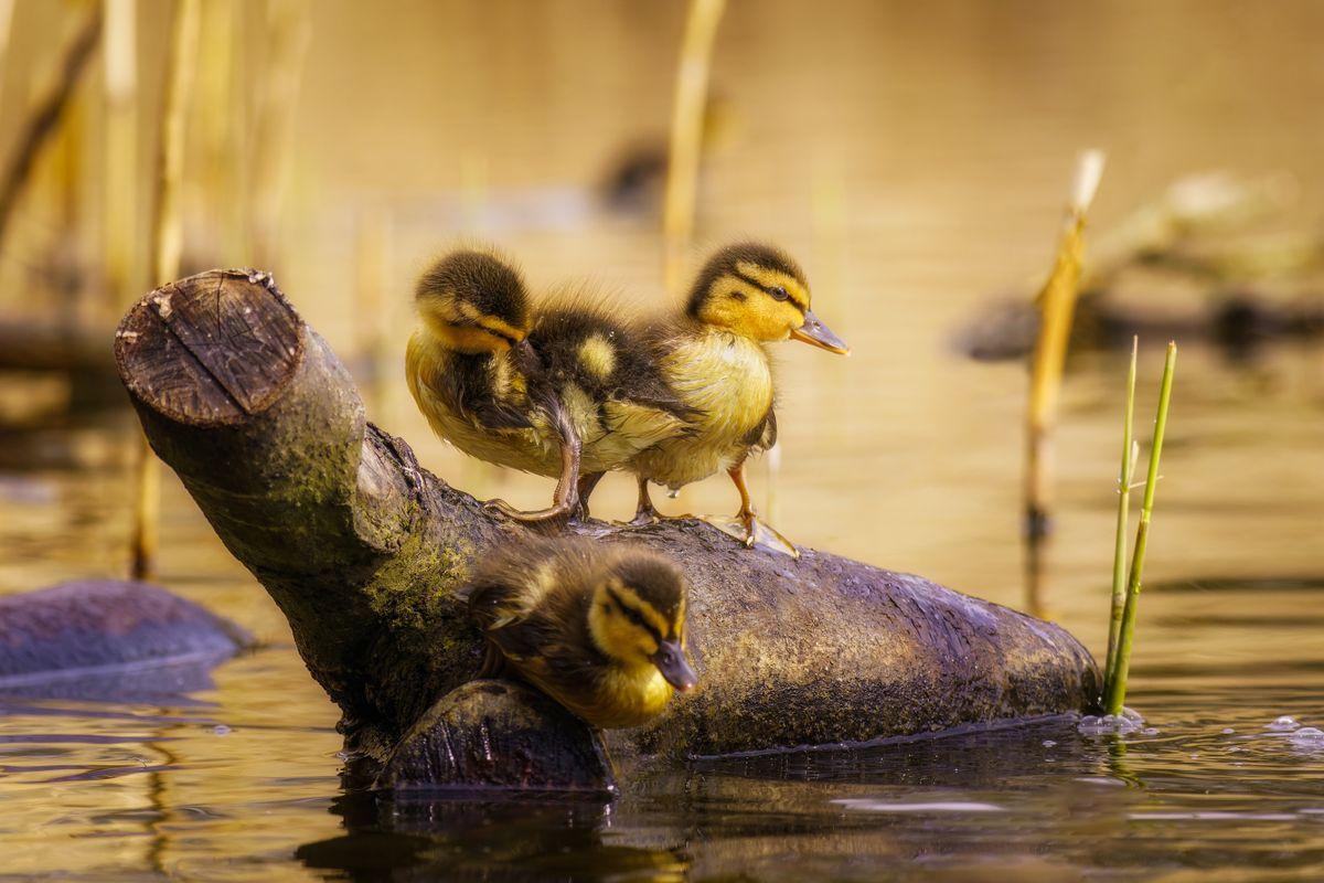 Mallard Ducklings(Anas platyrhynchos) On Floating Log