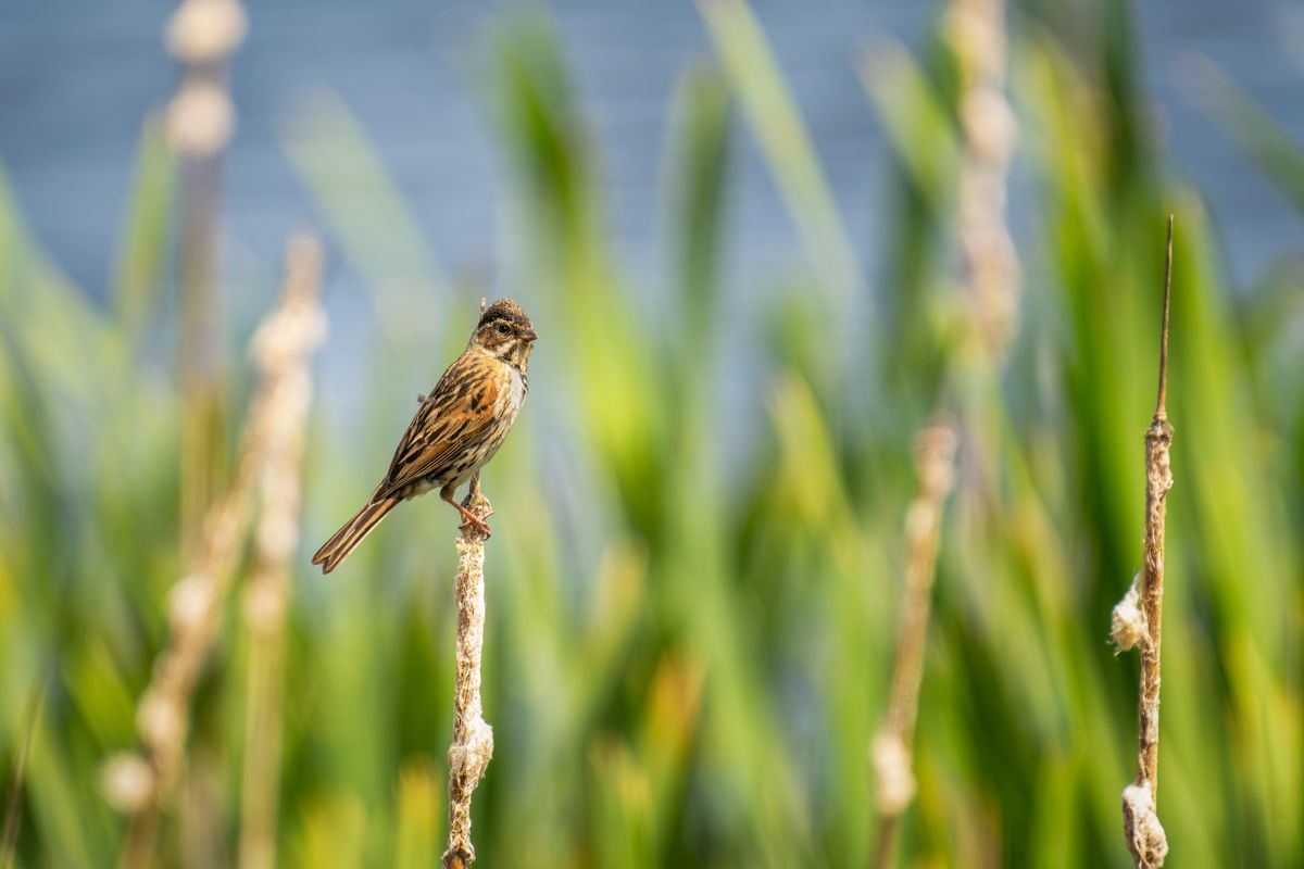 Reed Bunting(Emberiza schoeniclus) - Female amongst the Reeds